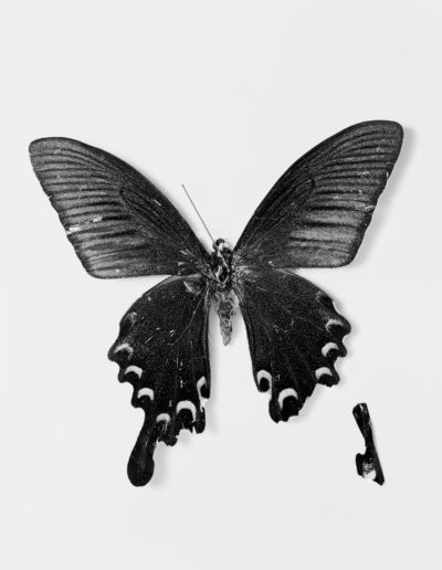 Osheen Harruthoonyan, Flutter,2016, split toned gelatin silver print,13.5 x 19 inches (framed diptych)