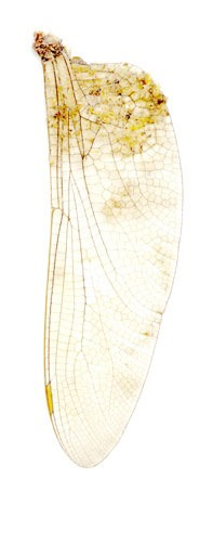 Peggy Taylor Reid, Collected Poems, Dragonfly Wing, 2007, inkjet digital print on Washi paper, 27 x 13 inches