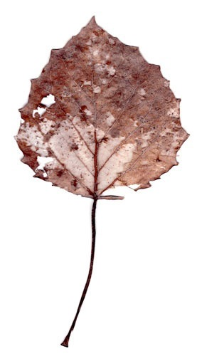 Peggy Taylor Reid, Collected Poems, Aspen Leaves, 2007, archival digital print on Washi paper, 33 x 17 inches (framed)